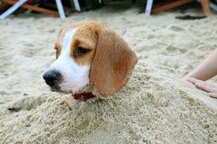 Spürhund im Sand lizenzfreie stockfotos