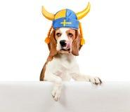Spürhund im schwedischen Hut auf weißem Hintergrund Lizenzfreie Stockfotos