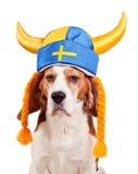 Spürhund im schwedischen Hut, lokalisiert auf Weiß Stockbild