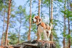 Spürhund im Wald Stockfoto
