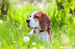 Spürhund im Wald Lizenzfreie Stockfotografie