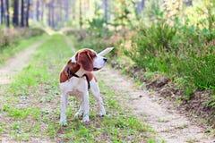 Spürhund im Wald Lizenzfreies Stockbild