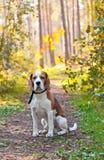 Spürhund im Wald Lizenzfreie Stockfotos