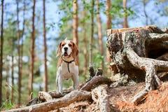 Spürhund im Wald Stockbilder