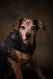 Spürhund-Mischung Lizenzfreies Stockbild