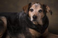Spürhund-Mischung Stockfotografie
