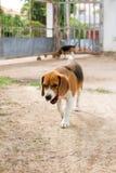 Spürhund offen zu Hause stockfoto