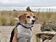 Spürhund am Strand, Oregon Lizenzfreies Stockbild