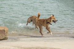 Spürhund und Chow mischen in einem frohen Spiel der Verfolgung Lizenzfreies Stockfoto