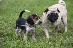 Spürhund und Pug lizenzfreie stockbilder