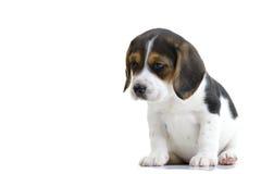 Spürhund-Welpe Stockfotografie