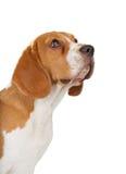 Spürhund-Welpe, der oben schaut Stockfotografie