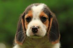 Spürhund-Welpen Stockfoto