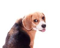 Spürhund zurück schauen Stockfotos
