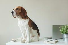 Spürhundhund am Bürotisch mit Laptop Lizenzfreie Stockbilder