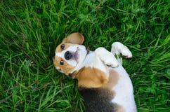 Spürhundhund, der auf dem Gras mit seinen Tatzen oben liegt Lizenzfreie Stockfotografie