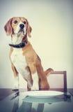 Spürhundhund, der auf ein Abendessen wartet Lizenzfreie Stockfotografie