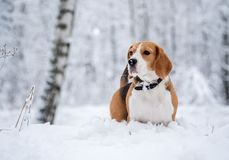 Spürhundhund, der in den schneebedeckten Wald des Winters geht Stockfoto