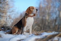 Spürhundhund, der in den Winterwald geht Lizenzfreies Stockfoto