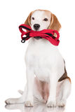 Spürhundhund, der eine Leine hält Lizenzfreies Stockfoto