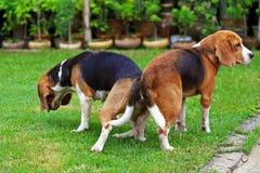 Spürhundhund zwei reinrassigen Tiers, der Liebe macht Stockfotografie