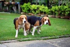 Spürhundhund zwei reinrassigen Tiers, der Liebe macht Lizenzfreie Stockbilder