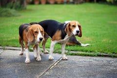 Spürhundhund zwei reinrassigen Tiers, der Liebe macht Stockfoto