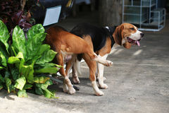 Spürhundhund zwei reinrassigen Tiers, der Liebe macht Lizenzfreie Stockfotografie