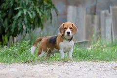 Spürhundporträt lizenzfreies stockbild