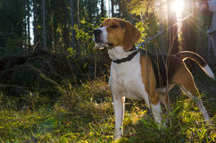 Spürhundporträt im Sommerwald unter Sonne Lizenzfreie Stockfotografie
