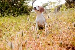 Spürhundsitzen Lizenzfreie Stockbilder