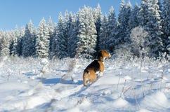 Spürhunduhr in den Waldjäger-Hundeaufenthalt auf dem schneebedeckten Gebiet Stockbilder