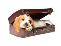 Spürhundwelpe, der im braunen Koffer schläft Lizenzfreie Stockfotos