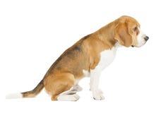 Spürhundwelpe getrennt auf weißem Hintergrund Stockfotos