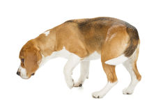 Spürhundwelpe getrennt auf weißem Hintergrund Lizenzfreies Stockfoto