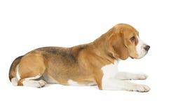 Spürhundwelpe getrennt auf weißem Hintergrund Stockfoto
