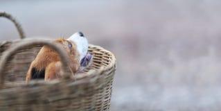 Spürhundwelpe im Rattankorb lizenzfreie stockfotografie