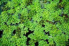 Spławowa roślina, nadwodna paproć w rybim stawie Obrazy Stock