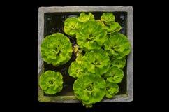 Spławowa roślina w wodzie Zdjęcie Stock