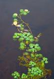 Spławowa zielona roślina Obrazy Royalty Free