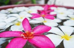 spławowego kwiatów frangipani horyzontalna strzału woda Zdjęcie Stock