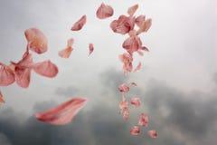kwiat wiśnie płatki wiruje wiatr ilustracji  ilustracja