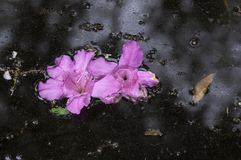 Spławowi różowi azalia kwiaty Fotografia Royalty Free