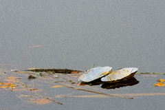 Spławowy łabędzi mussel obraz royalty free
