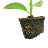 Spławowy kawałek brud z narastającą rośliną na Zdjęcia Stock