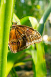 Spłodzony motyl zdjęcie stock