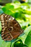 Spłodzony motyl obraz royalty free