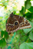Spłodzony motyl obrazy royalty free