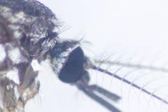 Sp анофелесов Личинка москита в воде для образования стоковые фото