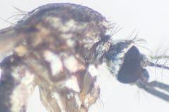 Sp анофелесов Личинка москита в воде для образования стоковое изображение rf